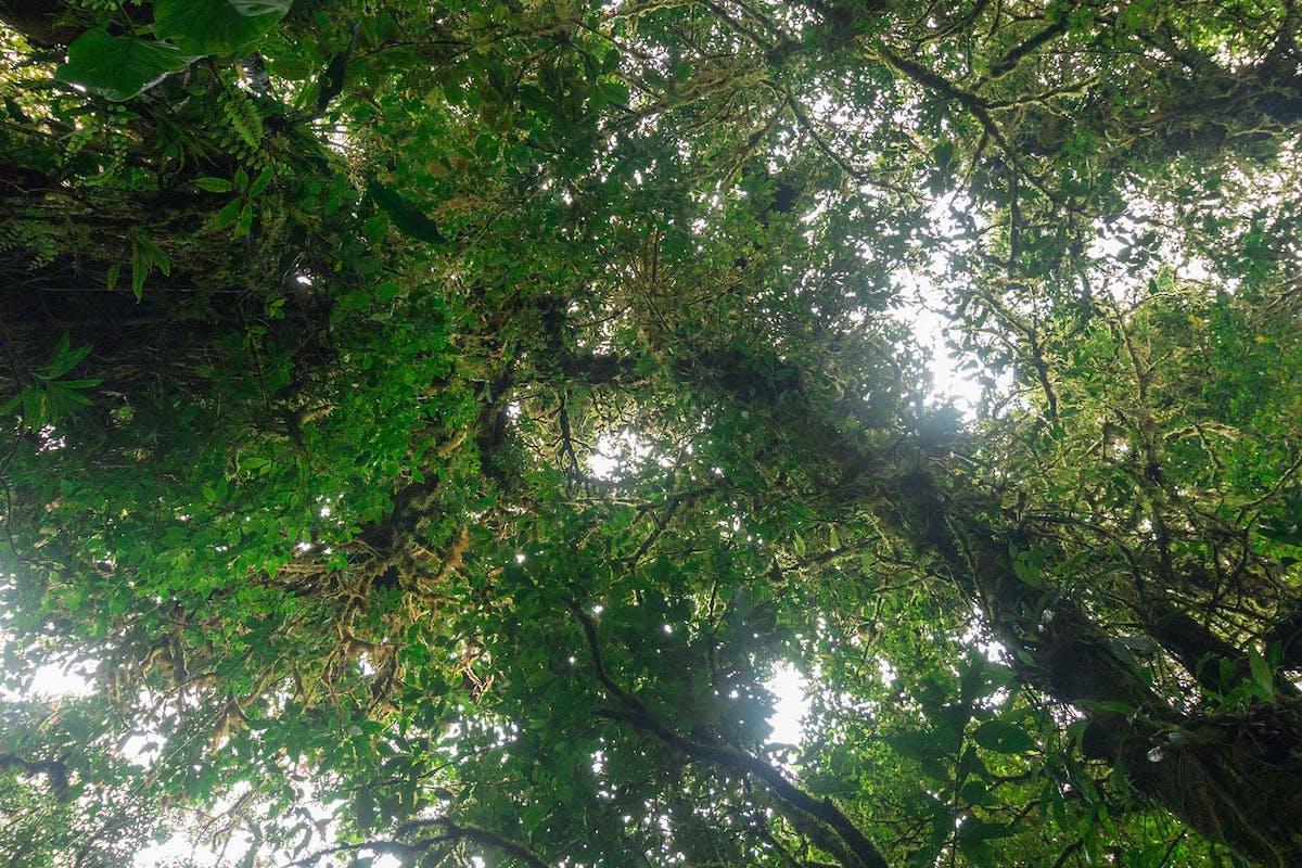 Monteverde Cloud Forest Trees